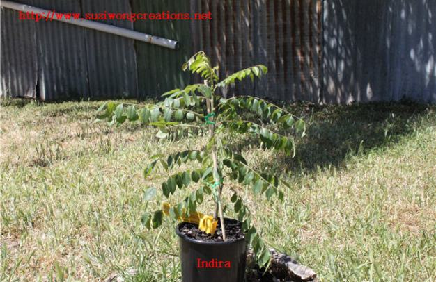 indira curry leaf tree
