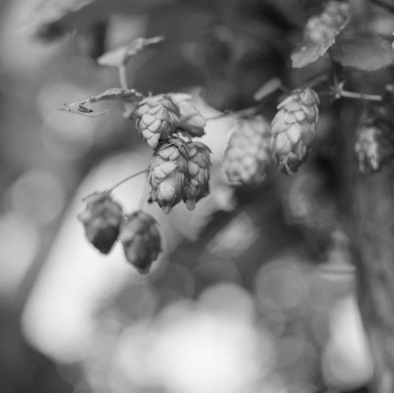 Klase af humlekogler på planten