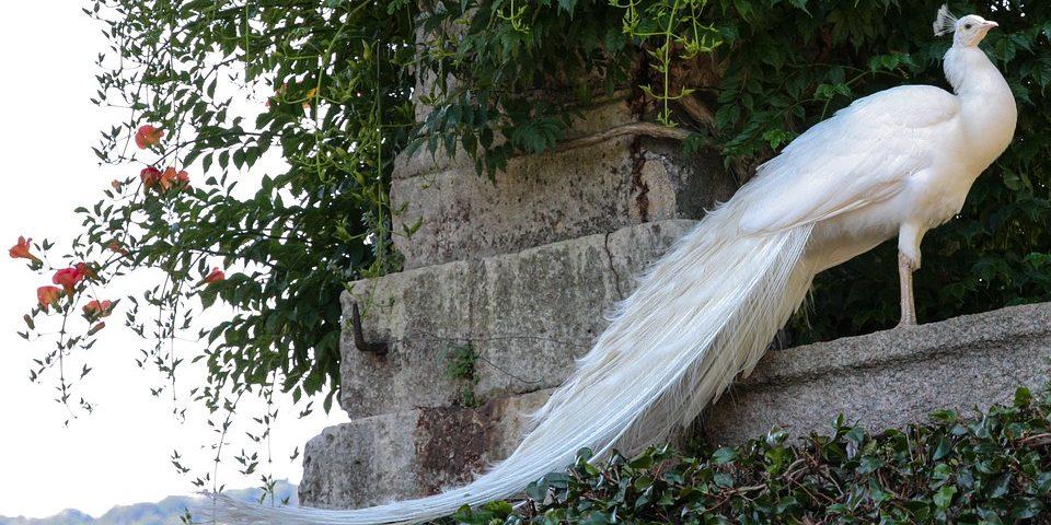 Svatební téma bílý páv