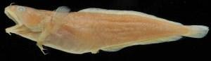 Ciliata septentrionalis