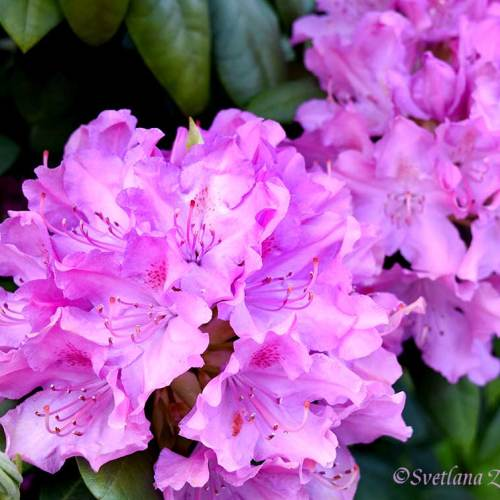 Rhododendron. Pink. Flowers - My Inspiration. Photo portraits of Azalea, Rhododendron, Columbine, Rose, Fuchsia - Svetlana.Gallery Photography