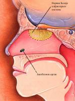 Приказ Јакобсоновог органа и нервних ћелија олфакторног система.