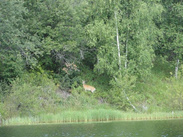 Deer on island in Long Island Lake