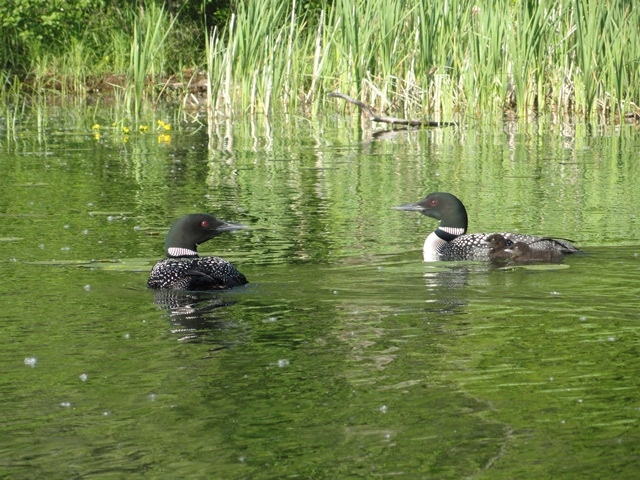 Loons & 2 babies