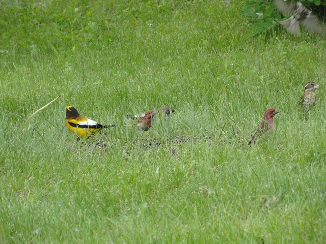 Evening Grosbeak & Purple Finches