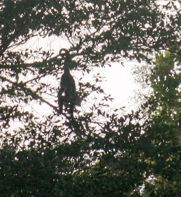 Capuchin Monkey in Rio Chagres