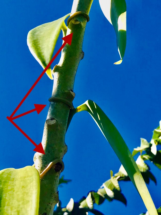 Vanilla Bean Attached to Support Tree
