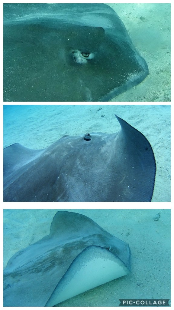 Sting Rays at Sting Ray City