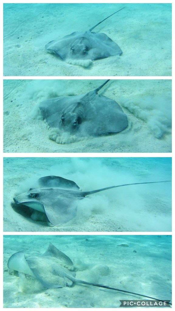 Sting Ray Burrowing