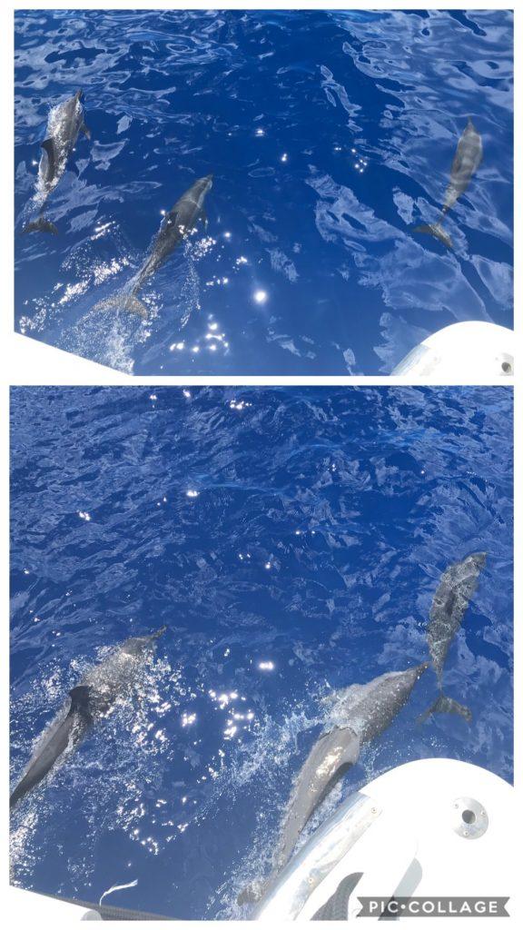 Dolphins off Brando Island