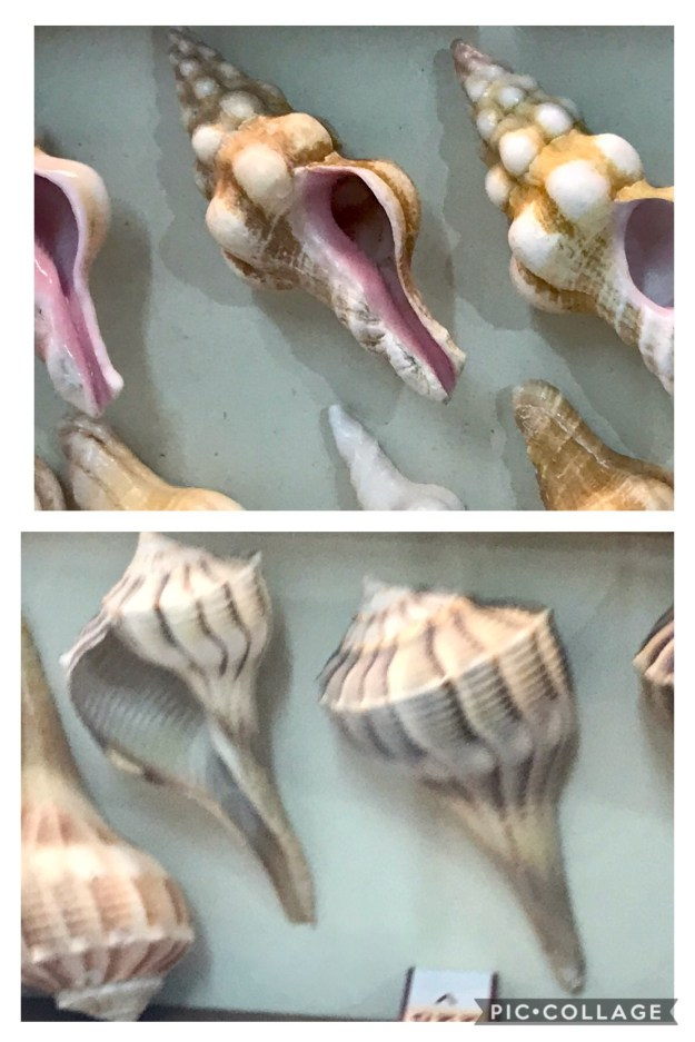 Conch shells opening to the right