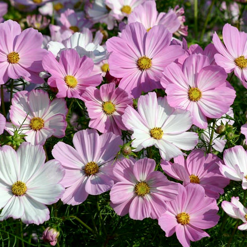 Cosmos Seeds  42 Top Cosmos   Annual Flower Seeds Cosimo Pink White cosmos seeds