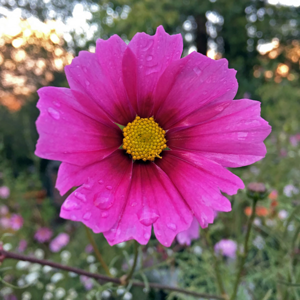 Cosmos Seeds  42 Top Cosmos   Annual Flower Seeds Cosmos Radiance flower Radiance cosmos flower