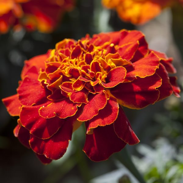 Marigold Seeds   17 African   French Marigolds   Annual Flower Seeds Alumia Red marigold seeds