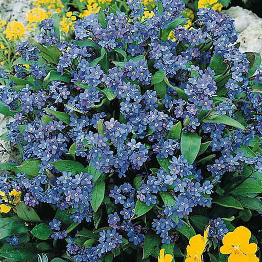 Forget me not Seeds  2 Forget me nots   Perennial Flower Seeds VICTORIA INDIGO BLUE Forget me not Seeds Myosotis sylvatica