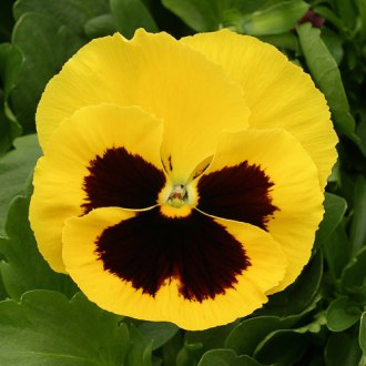 Pansy Seeds   30 Pansies   Annual Flower Seeds Pansies Heat Elite Yellow Blotch Heat Elite Yellow Blotch pansy