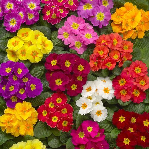 Inspirez Vous Pour Primrose Plants For Sale Near Me Spot And Stripe