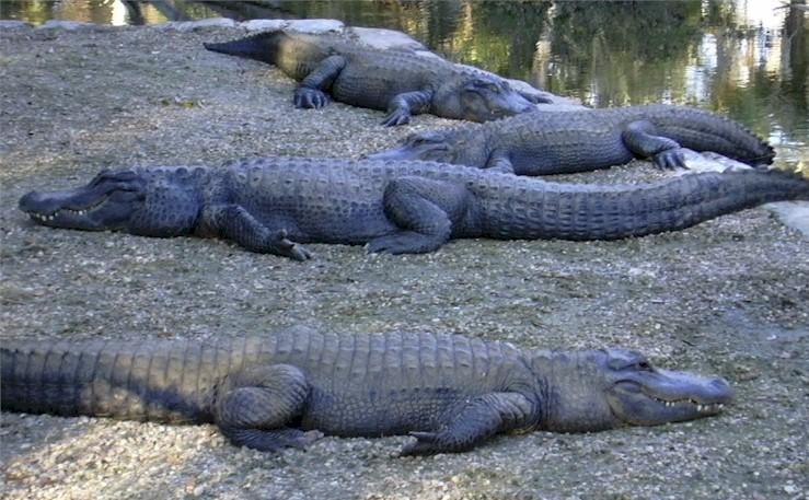 Alligators à Homossasa Springs, Floride