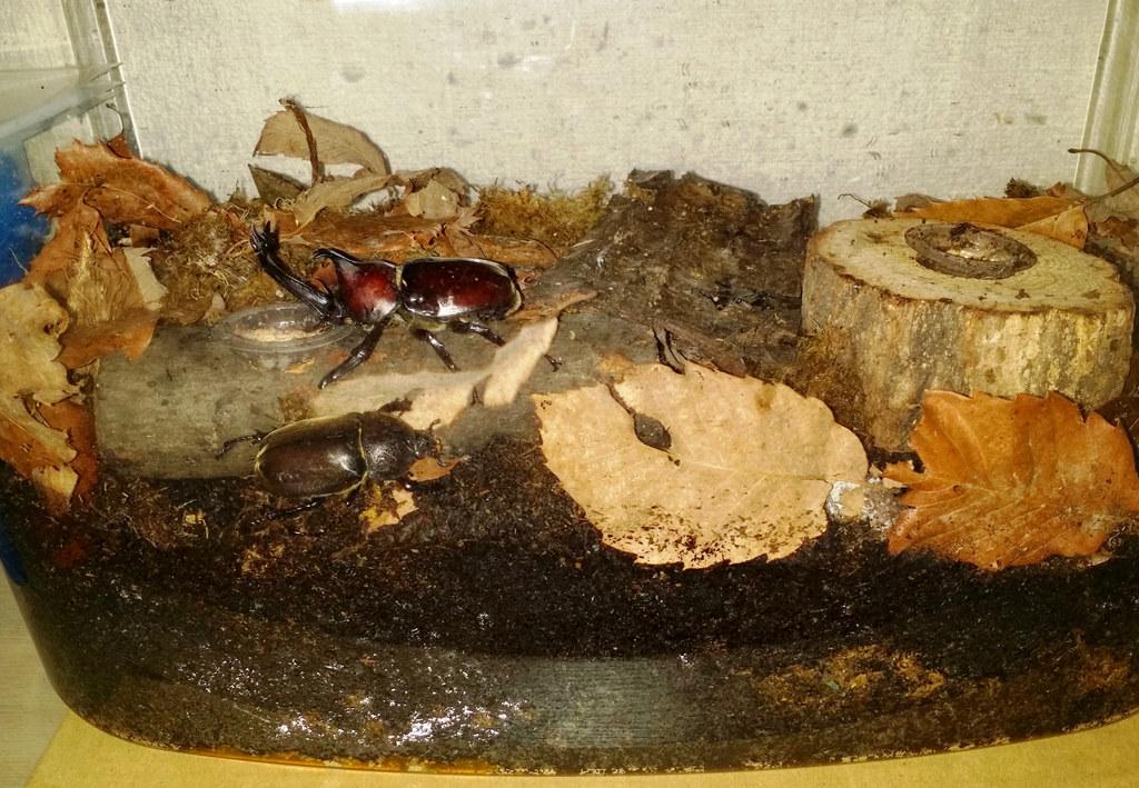 Élever des scarabées-rhinocéros japonais