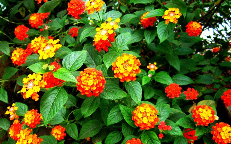 Image result for Lantana Camara i