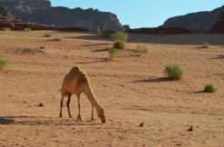 A Camel In The Wadi Rum