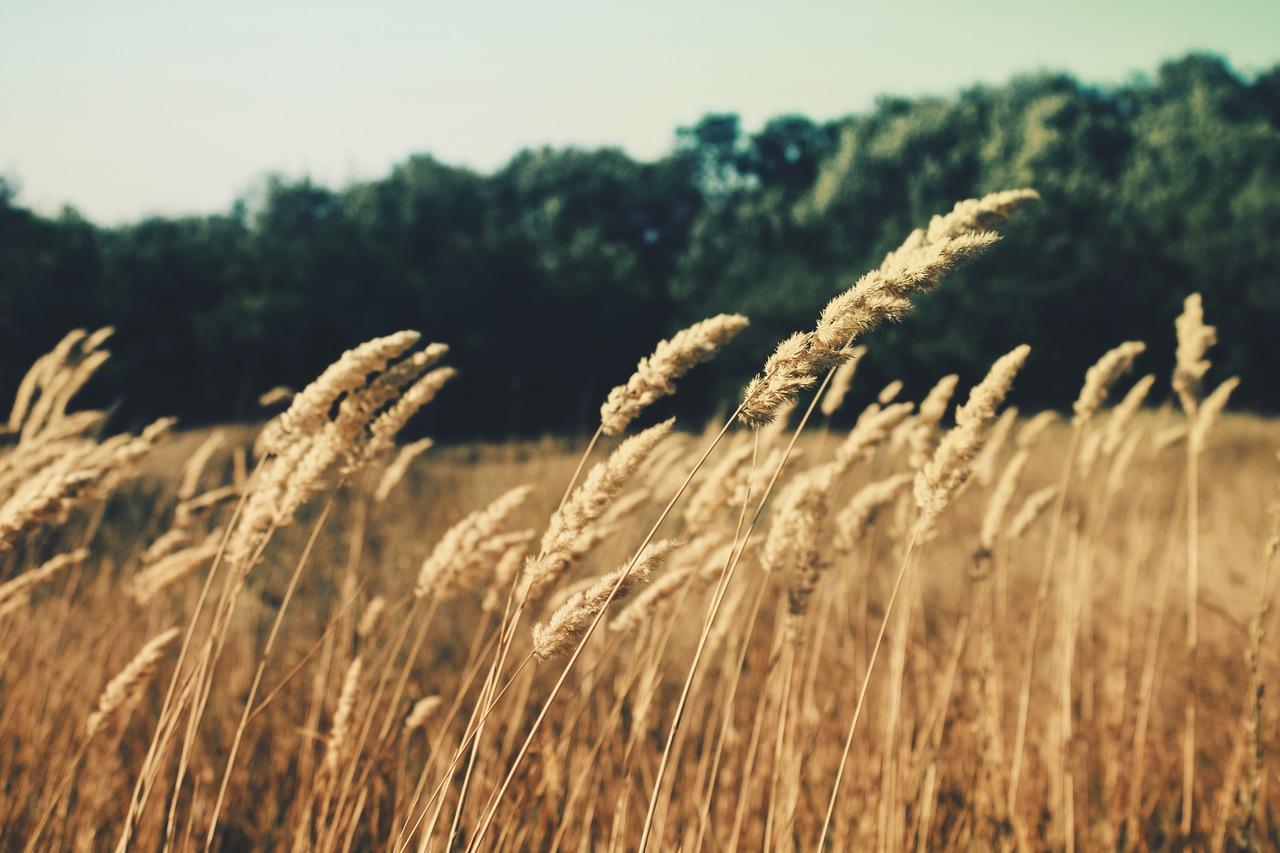 hemp field in the summer