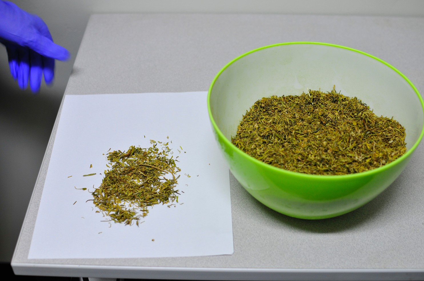 Nida-supplied marijuana, as received by Sue Sisley. (Multidisciplinary Association for Psychedelic Studies)