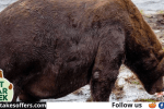 Katmai Fat Bear Contest