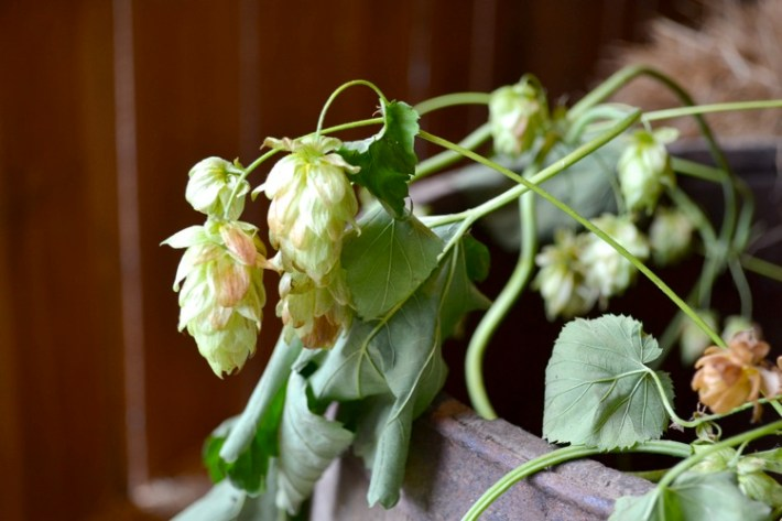 hopscrops02