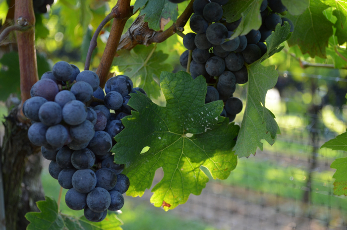 vineyard 10