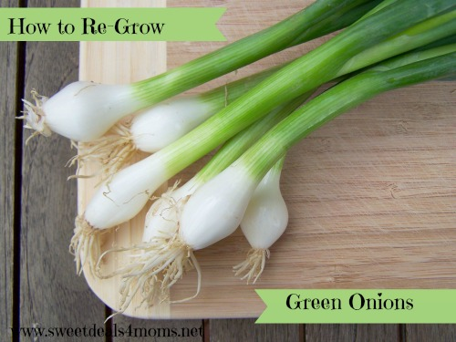 How to regrow gree onions