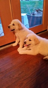 Goose and Maverick Puppies!!!