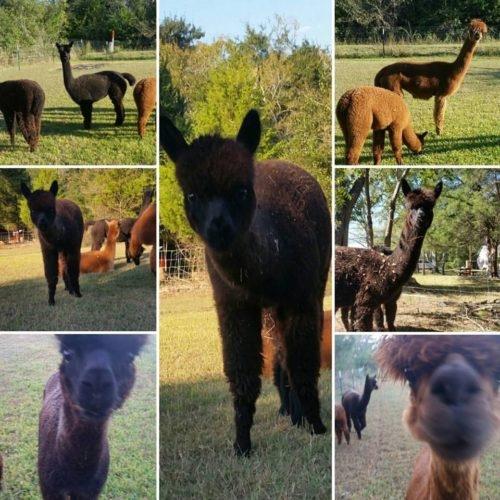 alpaca-collage