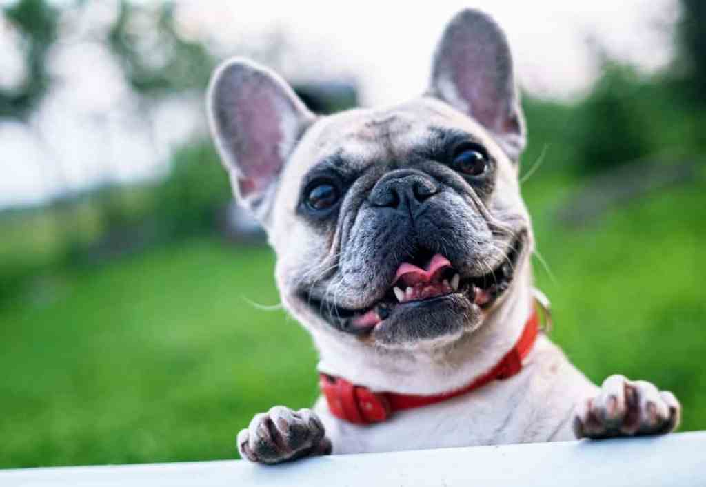 How to tell if your french bulldog is sick