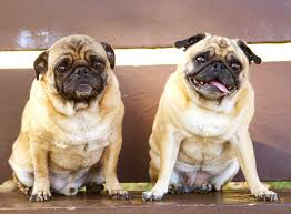 pugs and allergies