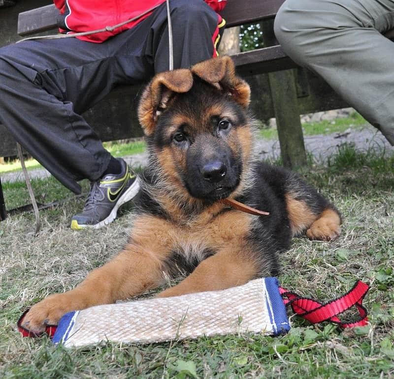 german shepherd ears down