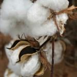 a cotton boll (credit: Calsidyrose via Flickr)