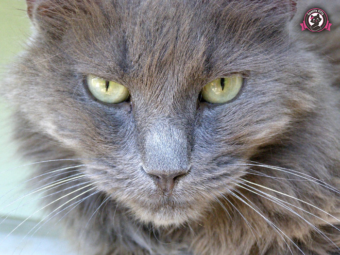 Nebelung Cat Temperament And Personality Sweetie Kitty