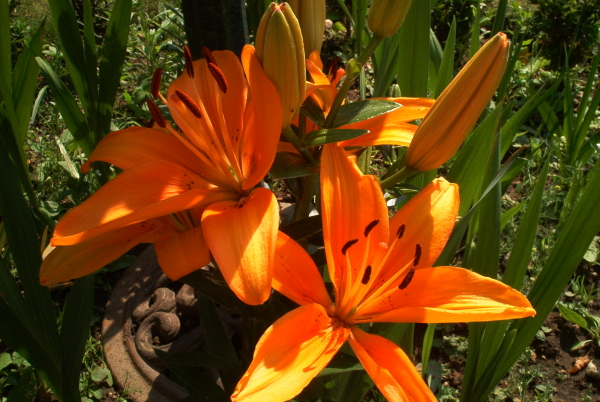 Die ersten Lilien