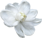 Jasmine Blossom