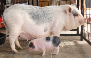 Mini Pigs - Teacup Pigs All You Need To Know - The Essential Guide Momma Pot Belly and her baby