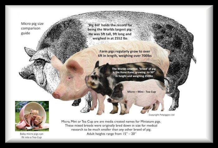 Pig size comparison