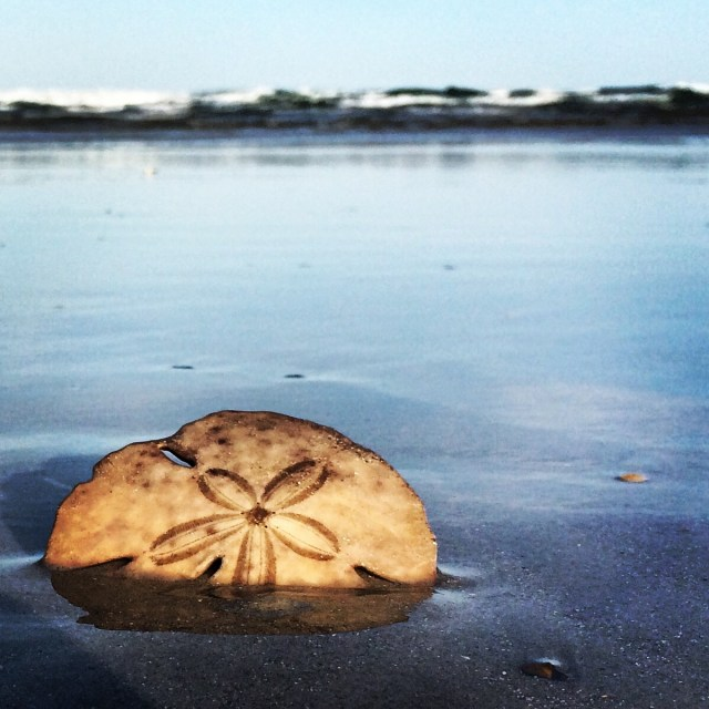 A Sanddollar Rests in the Sand