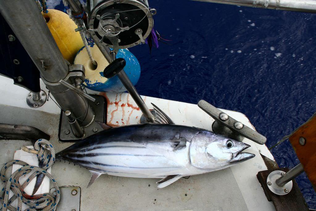 Skipjack tuna on Swell