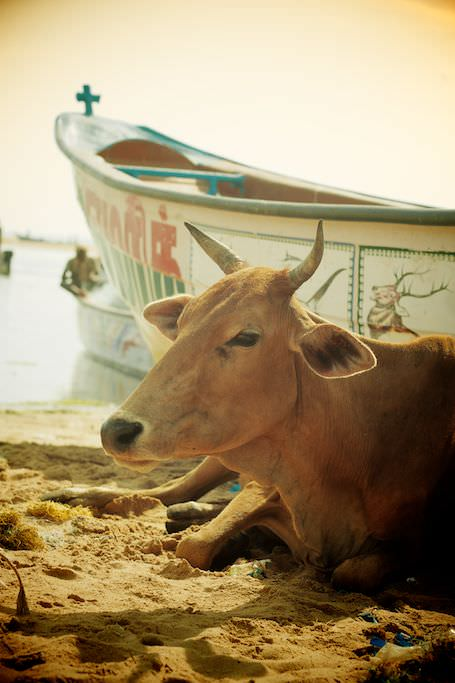 It's good to be a cow in India