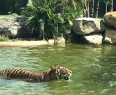 'World's bravest duck' plays with tiger at Australian zoo