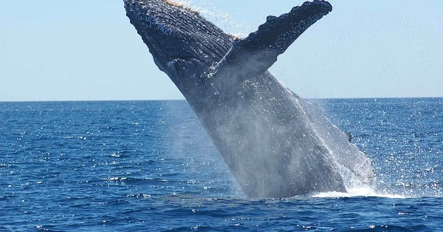 Whale Breaches Out Of Nowhere, Scares The Bejesus Out Of Swimmer