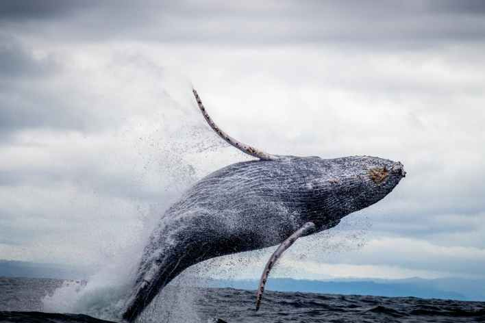black and white whale jumping on water