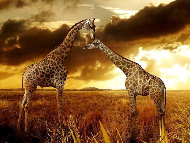 African Safari - giraffes