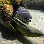Green Leopard Eel and Green Moray Eel in same pipe